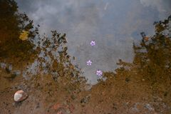 Flowers floating in the water royalty free stock photo