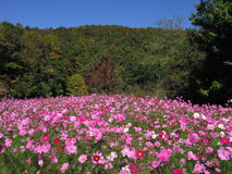 Pink flowers. Pink flower field in the forest Royalty Free Stock Photos