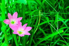 Pink Flowers. Pink flower in the green field Royalty Free Stock Image