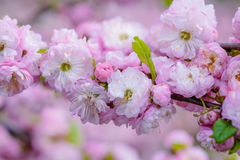 Pink flowers of a flowering plum, or Prunus triloba. Pink flowers of flowering plum or flowering almond Prunus triloba. Sometimes the tree is called a shrubby Stock Photography