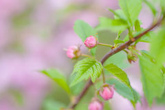 Pink flowers of a flowering plum, or Prunus triloba. Pink flowers of flowering plum or flowering almond Prunus triloba. Sometimes the tree is called a shrubby Royalty Free Stock Photos
