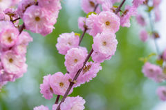 Pink flowers of a flowering plum, or Prunus triloba. Pink flowers of flowering plum or flowering almond Prunus triloba. Sometimes the tree is called a shrubby Royalty Free Stock Photo