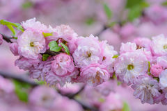 Pink flowers of a flowering plum, or Prunus triloba. Pink flowers of flowering plum or flowering almond Prunus triloba. Sometimes the tree is called a shrubby Stock Image