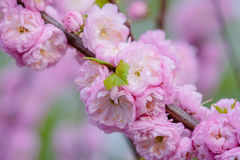 Pink flowers of a flowering plum, or Prunus triloba. Pink flowers of flowering plum or flowering almond Prunus triloba. Sometimes the tree is called a shrubby Stock Photos