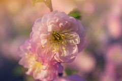 Pink Flowers. Flowers In The Garden At Springtime. Sakura. Cherry Blossom in Springtime. Beautiful Pink Flowers Stock Images