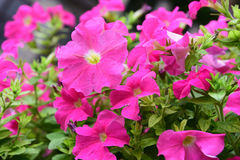 Pinkflowers Royalty Free Stock Photography
