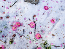 Pink flowers fluttered to the snow ground. Pink flowers fluttered to the snow ground in winter Royalty Free Stock Photography