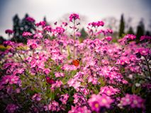 Pink flowers and flying butterfly. Natural background with copy space