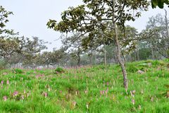 Pink flowers in the forest. And the fog in the morning. royalty free stock images