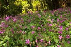 Pink flowers in forest in Garajonay national park Stock Photos