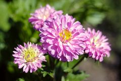 Pink flowers four macro sunny day royalty free stock photography