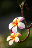 Pink flowers frangipani Stock Images
