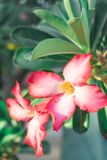 Pink flowers, frangipani flowers and green leaves stock photography