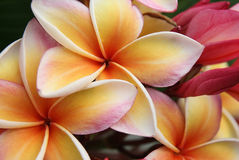 Pink flowers frangipani (plumeria) Stock Image