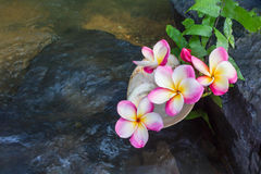 Pink flowers frangipani or plumeria on the waterfall rock with s Stock Photos