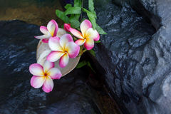 Pink flowers frangipani or plumeria on the waterfall rock with s Royalty Free Stock Images