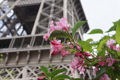 Pink Flowers in front of the Eiffel Tower. Paris, France Stock Image
