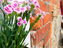Pink flowers in front of wall Royalty Free Stock Photo