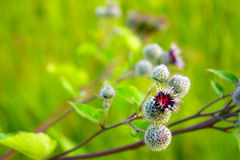 Pink flowers, fruits of burdock, agrimony in summer closeup Stock Photos