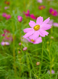 Pink flowers in the garden. Stock Images