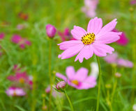 Pink flowers in the garden. Royalty Free Stock Images