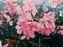 Pink flowers. Pink garden flowers Stock Photos