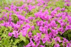 Pink flowers in garden Stock Photo