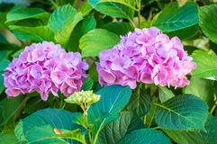 Pink flowers in the garden. Pink beautiful flowers growing in the green garden stock images