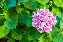 Pink flowers in the garden. Pink beautiful flowers growing in the green garden Stock Image