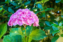 Pink flowers in the garden. Pink beautiful flowers growing in the green garden royalty free stock images