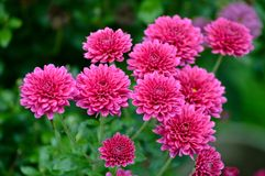 Pink flowers in the garden. Beautiful tiny flowers in the garden Royalty Free Stock Images