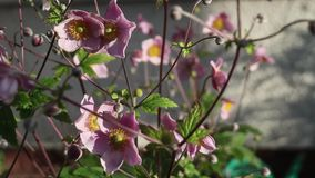 Pink flowers in the garden, close up, HD footage stock footage