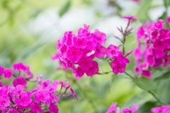 Pink flowers in garden Royalty Free Stock Photo