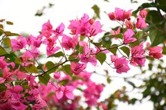 Pink Flowers in garden royalty free stock photos