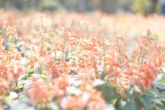 Pink flowers in garden Stock Photography