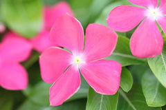 Pink flowers in the garden. Stock Photography