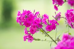 Pink flowers in garden Royalty Free Stock Photography