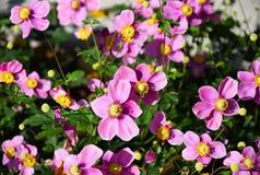 Pink flowers in the garden. In summer Stock Photo