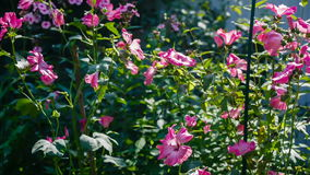 Pink flowers in a garden stock video footage