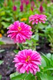 Pink flowers. Pink  gerber daisies in Spring Stock Photography
