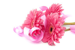 Pink flowers Gerbera with ribbon isolated on white background. Stock Images