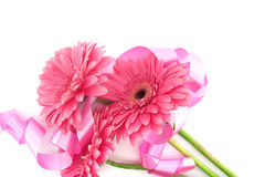 Pink flowers Gerbera with ribbon isolated on white background. Royalty Free Stock Photo