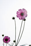Pink flowers. On a good day and good weather Royalty Free Stock Images
