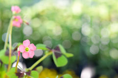 Pink flowers of good luck plant Stock Photography