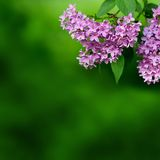 Pink flowers on a green background Royalty Free Stock Photos