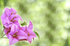 Pink flowers. On green background Stock Photography