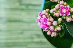 Pink flowers on green background. Kalanchoe Calandiva flower also known as Widow`s-thrill, Kalanchöe or Kalanchoë background with green blurred background. Can Royalty Free Stock Photography