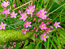 Pink flowers in green grass. Small pink flowers in the green grass, summer nature Stock Photography