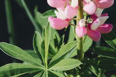 Pink flowers and green large leaves royalty free stock photography