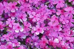 Pink flowers. With green leaves Royalty Free Stock Image